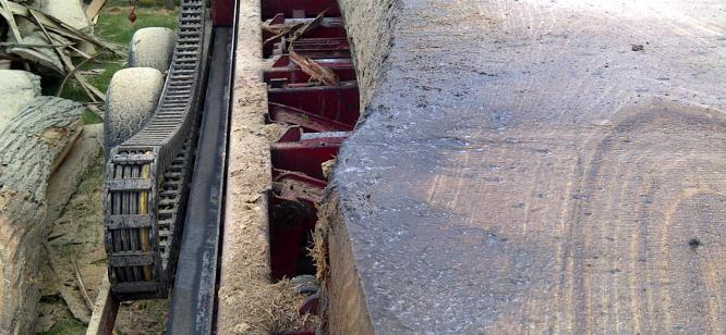 A 32ft Chestnut butt being cut to make a bridge at Escot Park