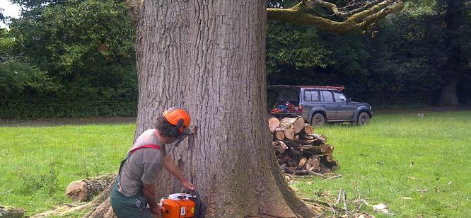 Felling a large dead oak ,Bridwell Park,this was sawn up onsite to build a large poch